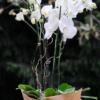 Planta-Orquidea-Alba-Plena-Fiuncho